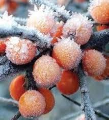 تحقیق حفاظت از سرمازدگي و يخ زدگي محصولات باغي