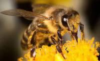 تحقیق انواع زنبور